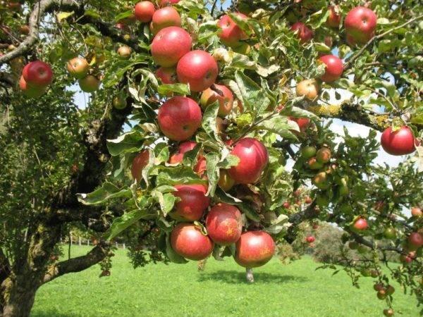 Зимостойкая яблоня вологодское зимнее