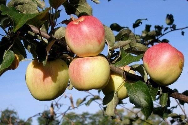 Яблоня афродита: описание сорта и его фото, особенности выращивания и характеристики