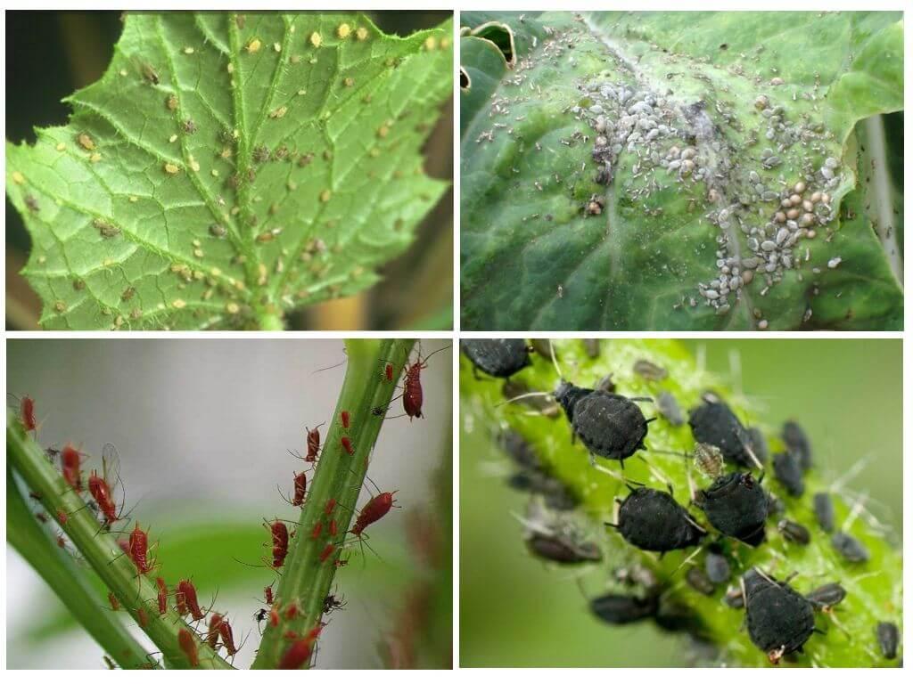 Вредители и болезни груши: обработка и защита от них