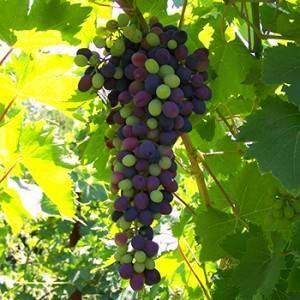 Описание сорта винограда аттика: отзывы садоводов