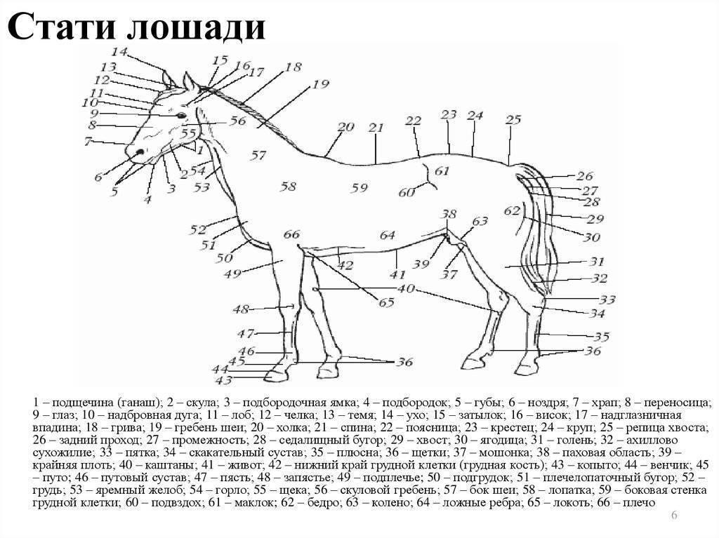 Экстерьер лошади, пригодность лошади для спорта, телосложение работоспособность, стати лошади строение тела лошади, форма головы шеи
