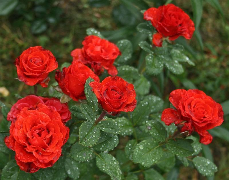 Очаровательная красавица — роза эль торо