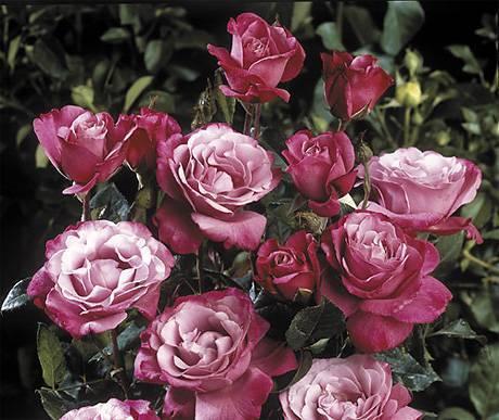 Как купить качественные саженцы роз