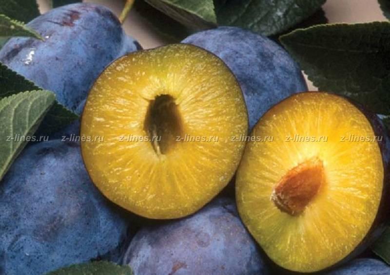 Слива домашняя 'яичная синяя' — википедия