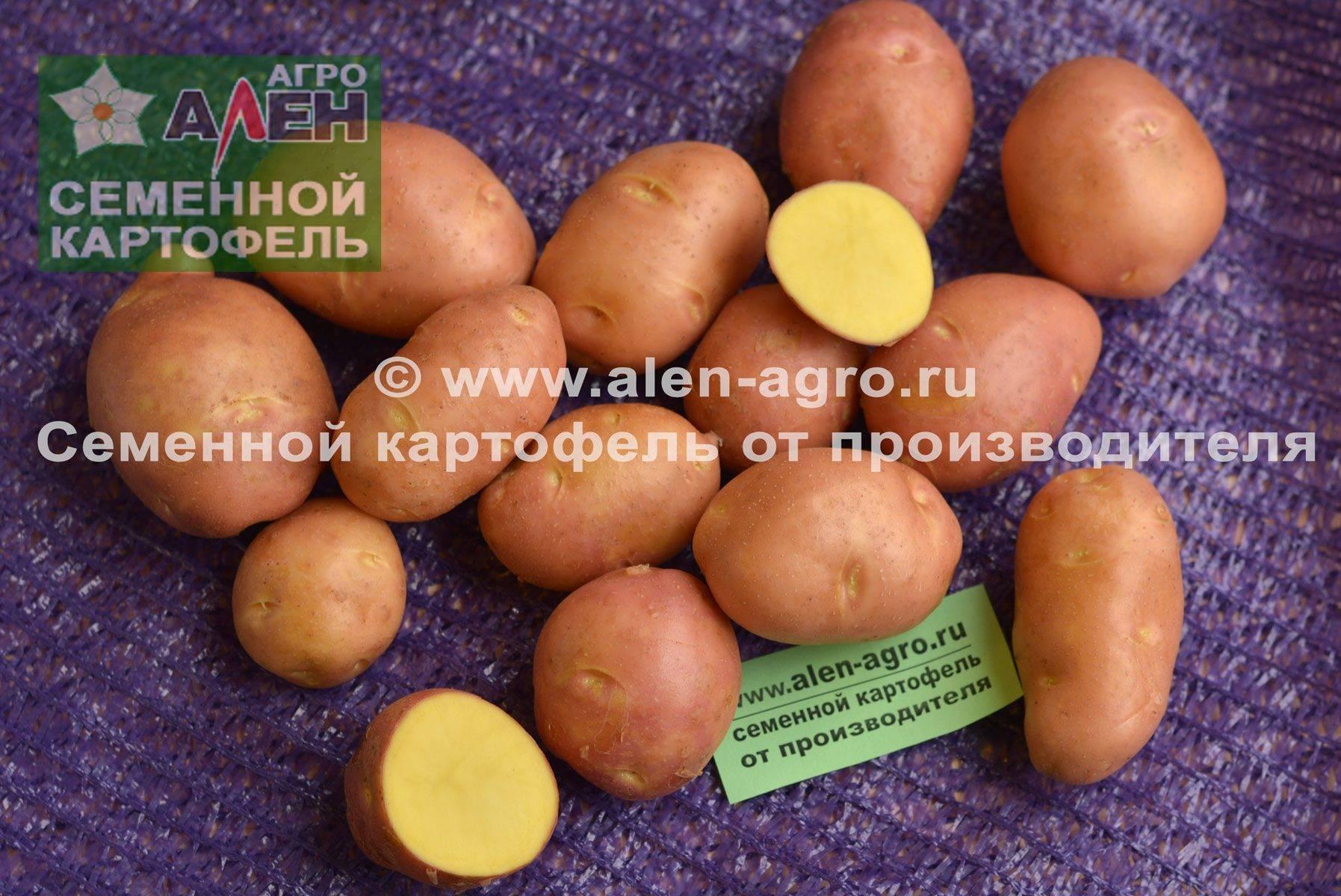 Картофель беллароза —вкусный сорт из германии