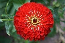 Виды цинний: изящные, крупноцветковые, кустовые, георгиноцветковые
