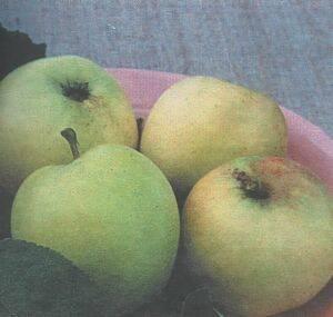 Яблоня — подарок садоводам: описание сорта, фото, отзывы
