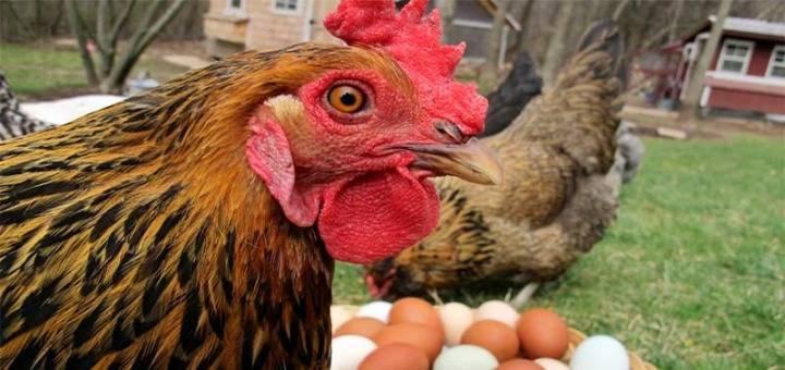Почему куры клюют свои яйца: причины и что делать в этой ситуации