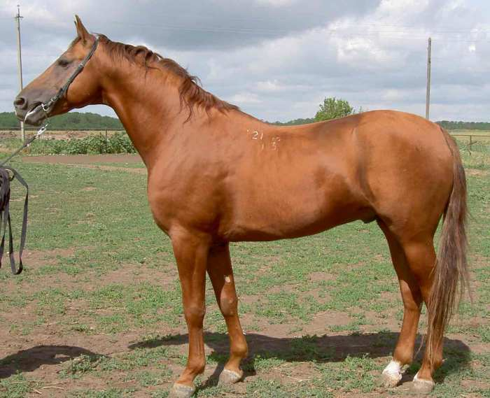 Донская порода лошадей: как она появилась и какими особенностями отличается?