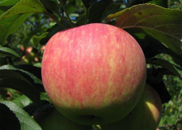 Услада — яблонядля начинающих садоводов