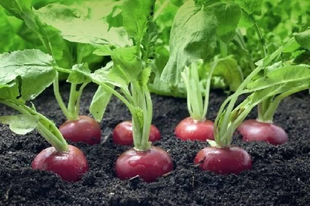 Чем подкормить редиску после всходов в теплице и в открытом грунте: магазинные и народные средства, а также как вносить удобрения под взрослые растения?