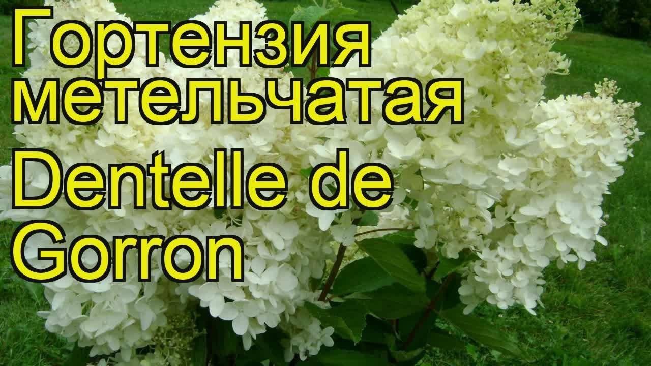 О сорте гортензии Дентель де Горрон: описание сорта, как посадить и ухаживать