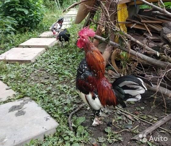 Курица бентамка: описание породы, особенности содержания и ухода. карликовые куры