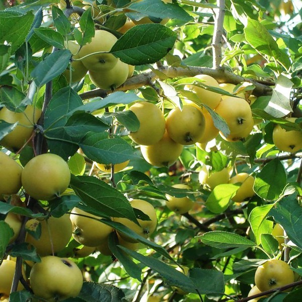 Вкуснейший сорт яблони – уральское наливное