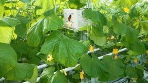 Опыление огурцов в теплице и помидор — советы
