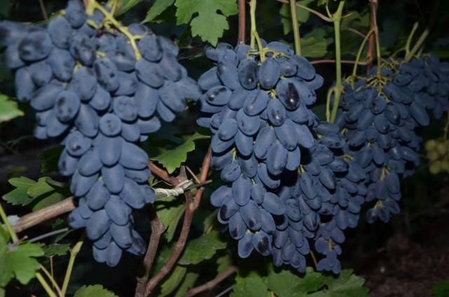 Выращивание виноградного сорта академик (памяти дженеева)