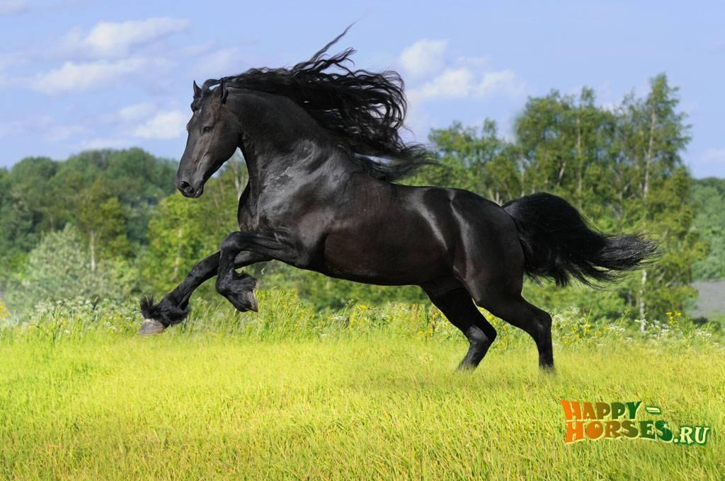 Фризская лошадь: описание и содержание