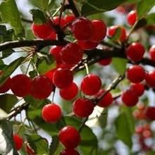 Опыление вишни – важный нюанс для хорошего урожая