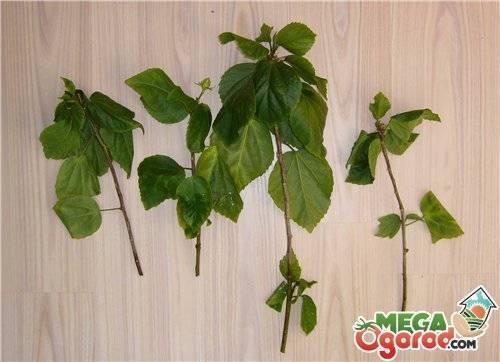 Комнатный гибискус (56 фото): уход за китайской розой в домашних условиях. выбор грунта для цветка. как заставить растение цвести зимой? в какой горшок его посадить?
