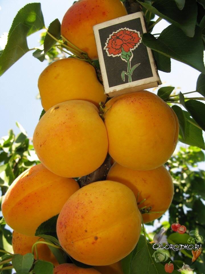 Описание среднепозднего крупноплодного сорта абрикоса чемпион севера