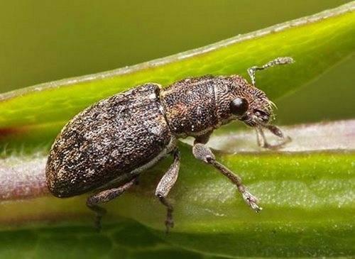Болезни и насекомые-вредители гороха