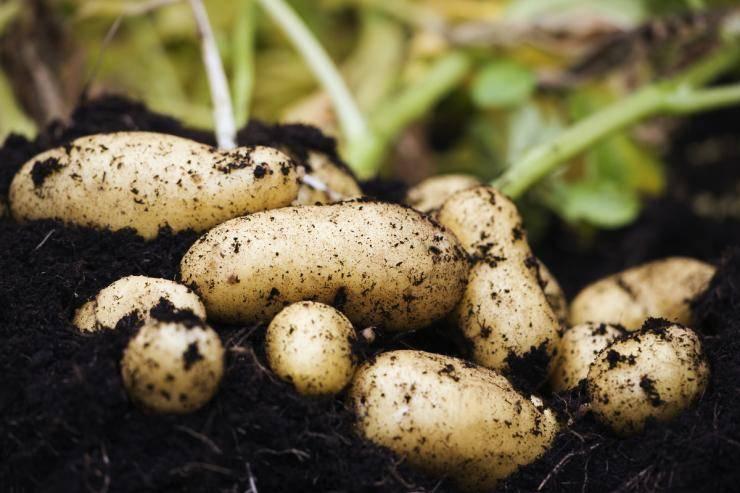 Что сажать после картошки. предшественники картофеля