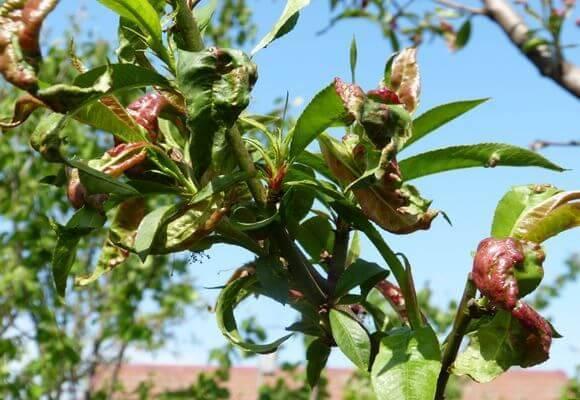 Причины курчавости персика и методы борьбы с ней