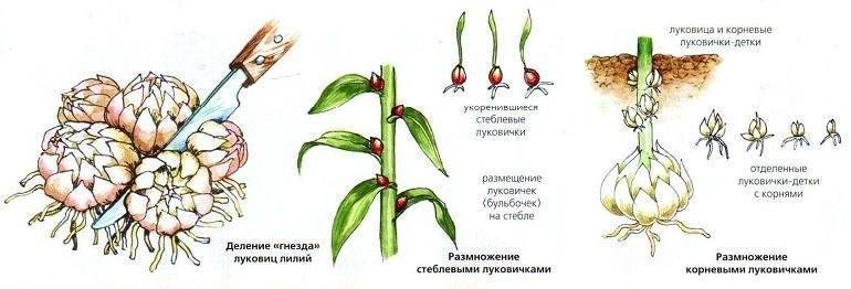 Лилии посадка и уход: семенами, выбор места, правила пересадки, когда сажать лилии и как?