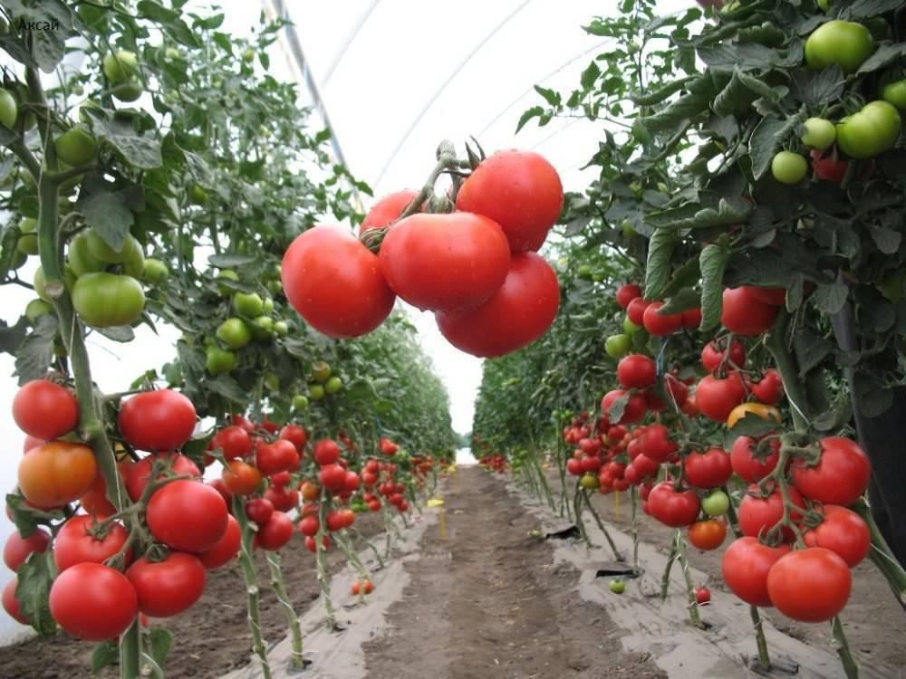 Помидоры для теплицы из поликарбоната - лучшие сорта, какие сорта самые урожайны?