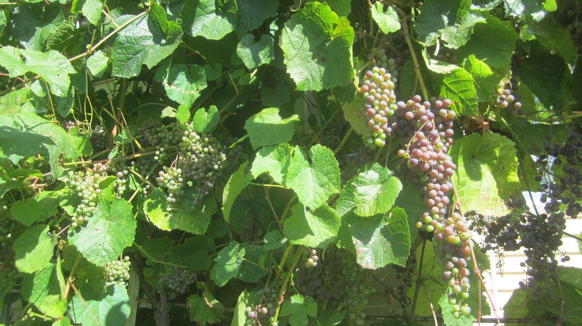 Как ухаживать за виноградником после окончания зимы?