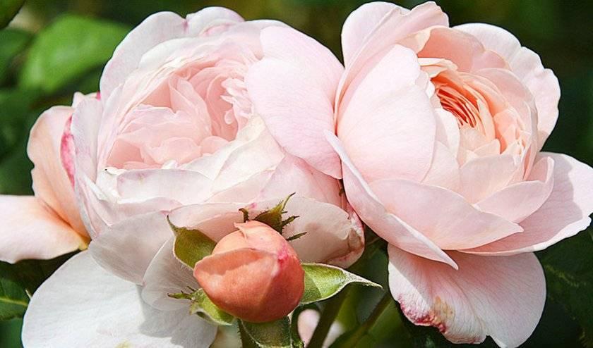 Чем болеют розы: 10 частых проблем и их решения