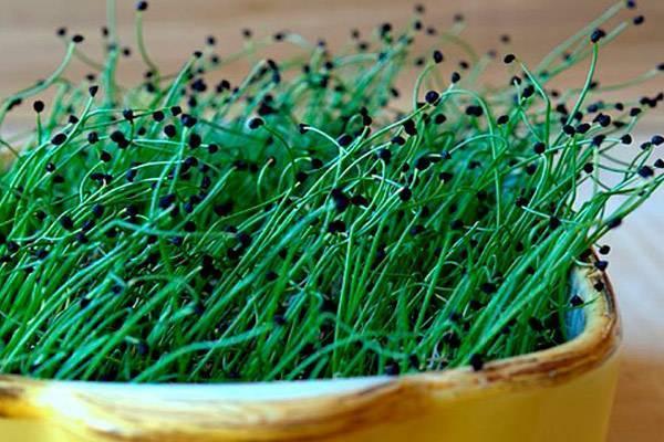 Лук-чернушка: выращивание и уход за культурой