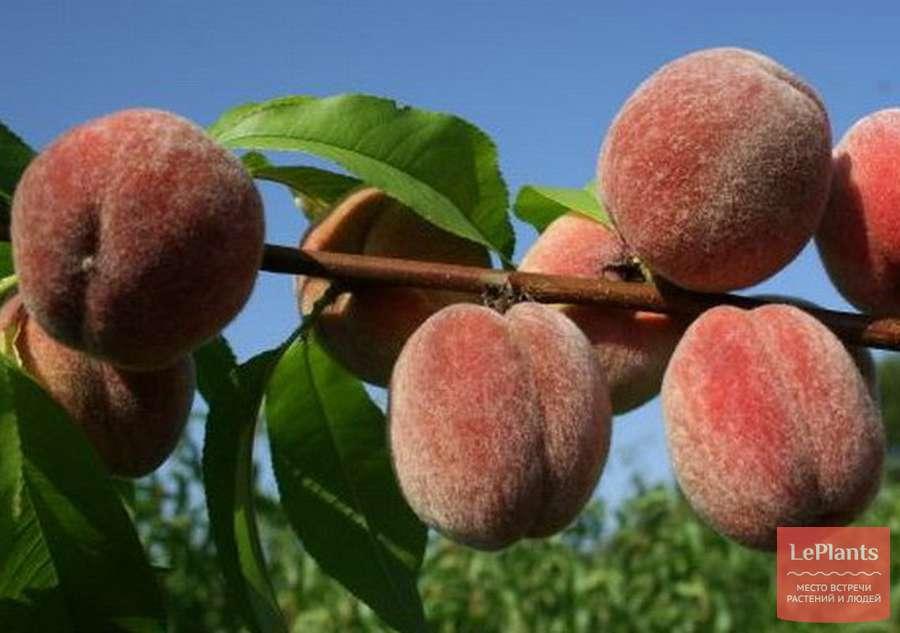 Персик — выращивание персиковых деревьев в своём саду