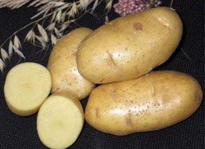 Сорт картофеля удача: описание, посадка и уход