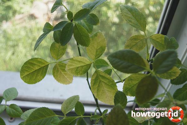 Почему у комнатных роз желтеет и опадает листва, появляется паутинный клещ