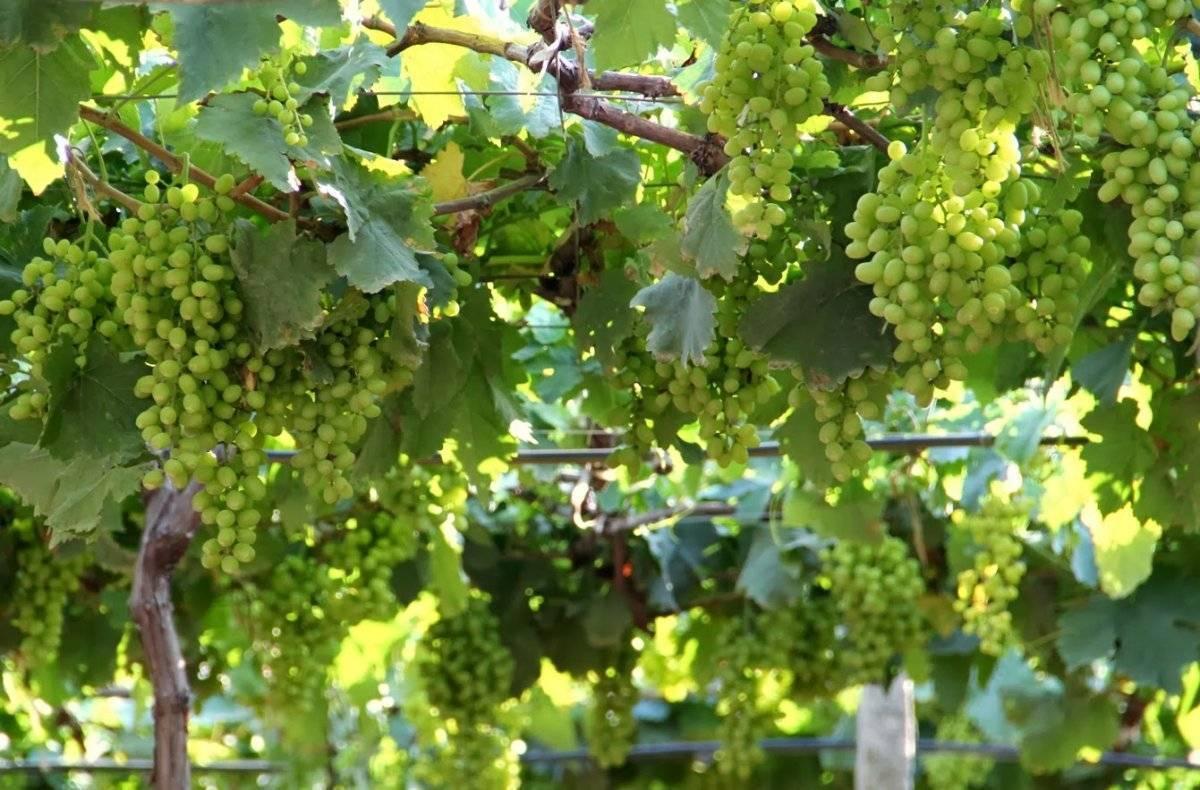 Завязи на винограде и причина их осыпания. в чем причина и что делать???