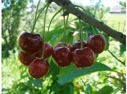 Вишня «новелла»: особенности выращивания и уход