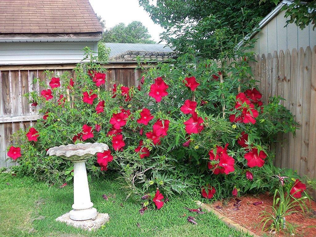 Гибискус — рубин вашего дома
