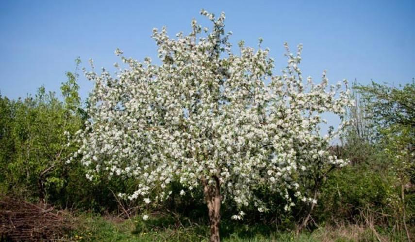 О яблоне Звездочка: описание сорта, характеристики, агротехника, выращивание