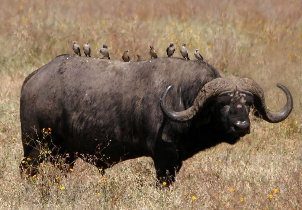 Буйвол: среда обитания, виды, особенности