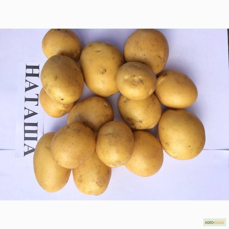 Картофель наташа: характеристика сорта