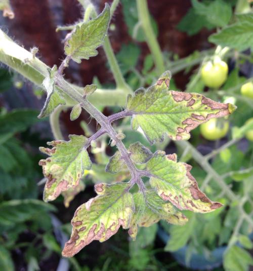 Подкормка томатов монофосфатом калия: особенности применения