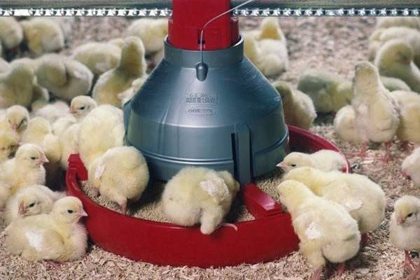 Цыплята бройлеры выращивание, уход и кормление