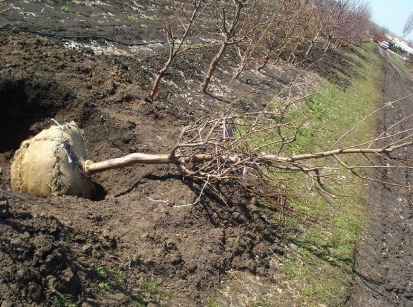 Как пересадить взрослую грушу осенью на новое место