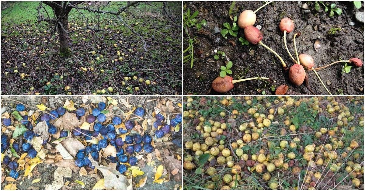 Чем подкормить абрикос чтобы не осыпалась завязь - 85 фото и видео цветения и поиска причин плохого урожая