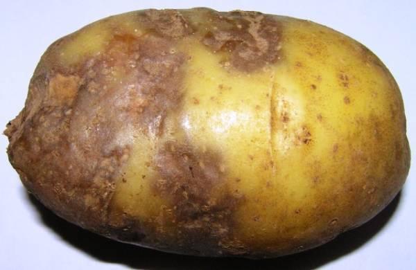Как бороться с фитофторой на картофеле: советы по препаратам, эффективные методы борьбы
