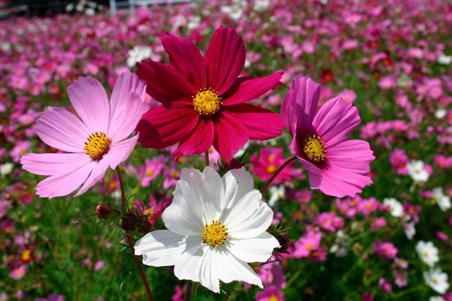 Космея махровая (33 фото): выращивание цветов из семян. когда сажать? оранжевые и желтые разновидности космеи