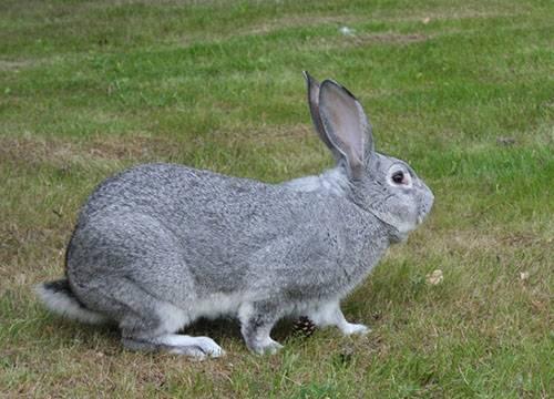 Кролики шиншилла (31 фото): описание советской породы, особенности разведения шиншилловых кроликов