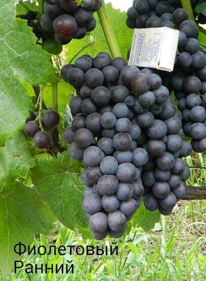 Сорт винограда «фиолетовый ранний»