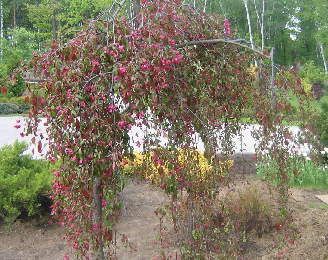 Особенности выращивания и ухода за колоновидной яблоней сорта останкино